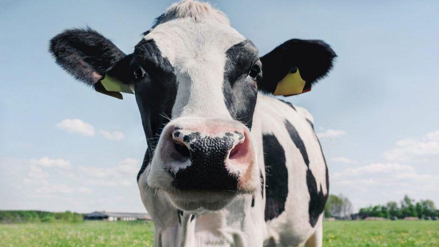 Video: Echt kuhl - Diese Kuh lässt sich bei Musik richtig fallen!