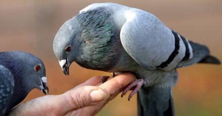 Das Füttern von Tauben und anderen Vögeln kann zu Verschmutzungen führen. Fühlen Nachbarn sich beeinträchtigt, kann ein Ordnungsgeld fällig werden.