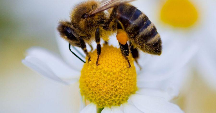 Anflug auf einen Pollen-Lieferanten: Manche Bienenarten sind Generalisten, andere stark spezialisiert.