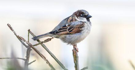 Mit ihren Rufen versuchen scheinbar gestrandete Jungvögel Kontakt zu ihren Eltern halten.