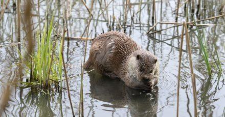 Mit ein paar Tipps kommen Naturliebhaber scheuen Ottern auf die Spur. Wenn sie ihren Fund melden, hilft das dem Naturschutz.