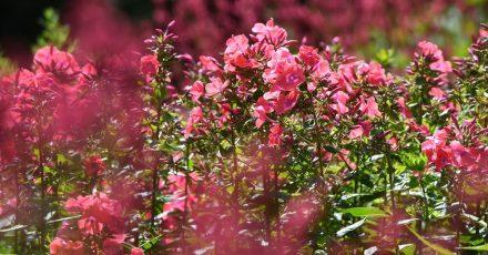 Wer Stauden wie die Flammenblume (Phlox) jetzt schneidet, fördert deren Wuchs und verlängert ihre Blütezeit.