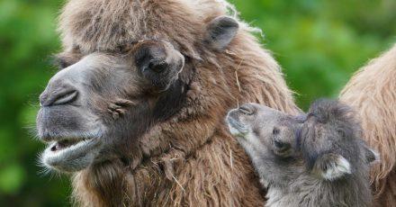 Kamelbaby Silke kuschelt mit Mutter Samira im Gehege im Tierpark Hagenbeck.