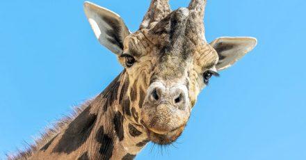 Der Giraffenbulle Kimbar blickt in die Kamera. Am 22. Juni wäre er stolze 28 Jahre alt geworden.