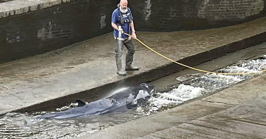 Ein etwa vier Meter langer verletzter  Minkwal wurde von Rettungskräften aus einer Themse-Schleuse befreit.