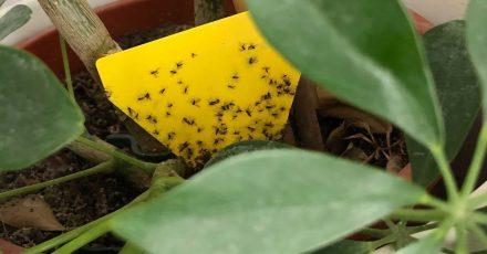 Wenn Ihre Zimmerpflanze befallen ist, können Sie mit Gelbstickern die Trauermücken fangen.