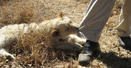 In Südafrika gehen auch deutsche Jäger gern in privaten Gehegen auf die Pirsch. Damit soll künftig Schluss sein.