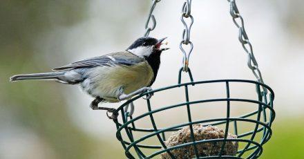 Der Nabu ruft dazu auf, von morgen bis Sonntag, eine Stunde lang die Vögel im Garten oder Park zu zählen.