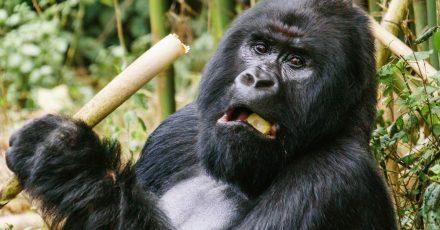 Ein Berggorilla im Virunga-Nationalpark im Osten der Demokratischen Republik Kongo.