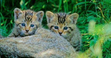 Sie sehen Hauskatzen zum Verwechseln ähnlich: Wildkatzen-Kitten sollten beim Waldspaziergang nicht mit nach Hause genommen werden.