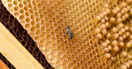 Eine Biene sitzt auf auf einer Wabe.