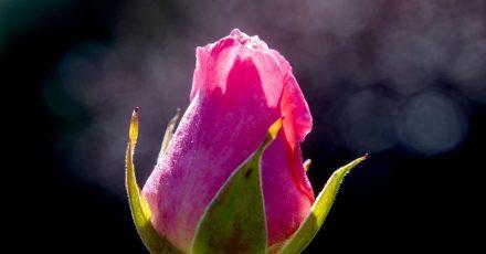 Damit eine Rose sich gut entfalten kann, braucht sie einen geeigneten Standort sowie einen Untergrund mit genügend Tiefe.