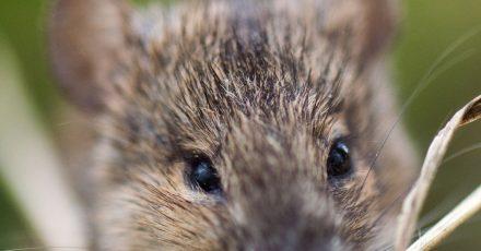 Das Landwirtschaftsministerium will gegen die Mäuseplage eine Genehmigung eines bislang verbotenen Gifts einholen.