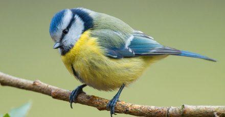 Der Naturschutzbund Deutschland (Nabu) ruft wieder einmal zum Vogelzählen auf. Die Aktion soll auch mehr Aufschluss über den Blaumeisenbestand bringen.