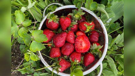Im Sieb bleiben Erdbeeren länger frisch. (Symbolbild) (ncz/eee/spot)