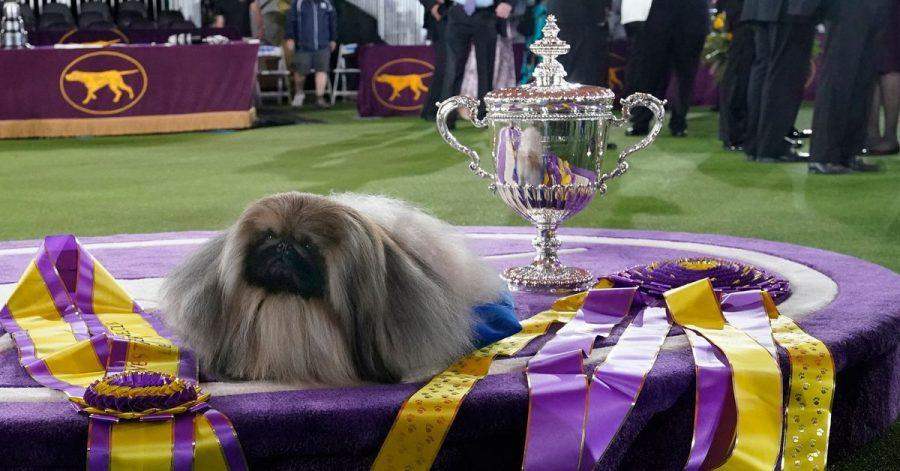Der Pekinese Wasabi bei der Preisverleihung nach der Westminster Kennel Club Hundeshow.
