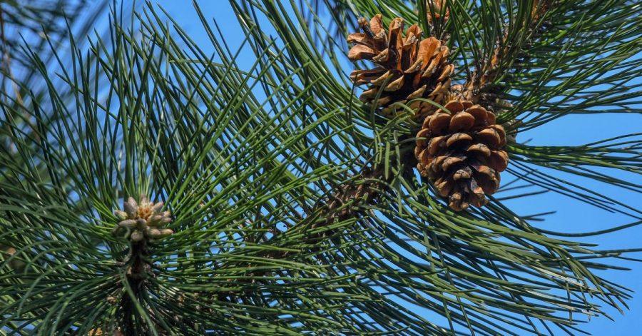 Zapfen hängen am Ast einer Schwarzkiefer. Der Bundesgerichtshof (BGH) hat über einen Nachbarschaftsstreit um einen nadelnden Baum an der Grundstücksgrenze sein Urteil gesprochen.