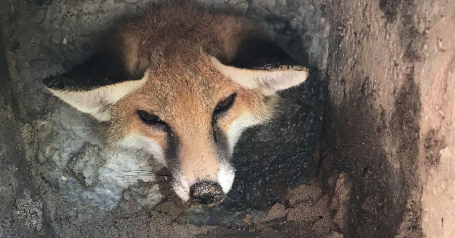 Ein Fuchs in der Falle.