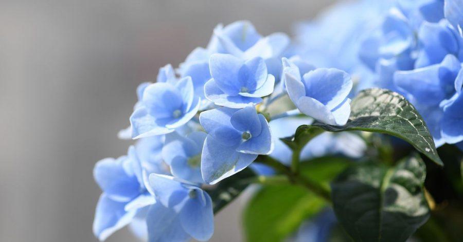Manche Hortensien blühen blau, da sie den Farbstoff Delphinidin in sich tragen - allerdings muss der Boden dafür einen niedrigen pH-Wert haben.