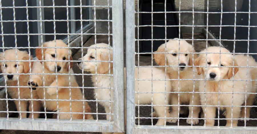 Laut dem Deutschen Tierschutzbund hat sich die Zahl der illegal gehandelten Hunde im Corona-Jahr 2020 im Vergleich zu 2019 fast verdreifacht