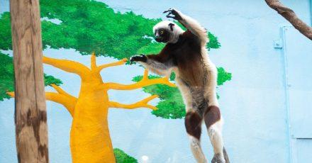 Der Coquerel-Sifaka «Ziggy» springt im Madagaskarhaus von einem Baumstamm zu einem anderen.