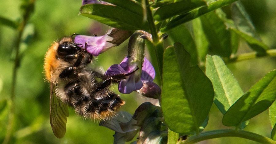 Eine Ackerhummel sitzt an einer Wildblume. Naturschützer haben wieder eine Zählaktion zu Insekten gestartet.