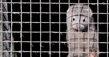 Ein Nerz im Käfig einer Nerzfarm.
