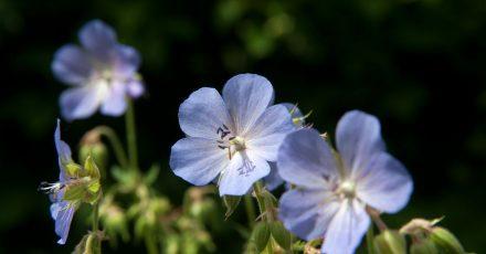 Der Wiesen-Storchschnabel (Geranium pratense) ist eine Sommerblume, die man im Garten ansiedeln kann - vor allem aber findet man sie auf Wiesen.