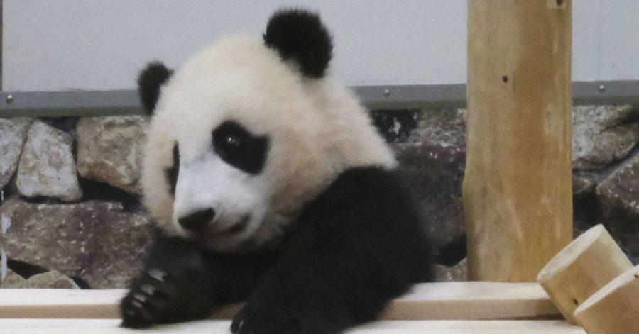Japaner lieben Pandas - nach der Geburt von Panda-Zwillingen in einem Tokioter Zoo wird nun mit einem Besucherandrang gerechnet. (Symbolbild)