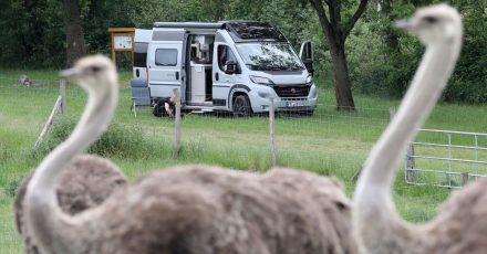 Auf der Straußenfarm Riederfelde ist der IT-Programmierer Hendrik mit seinem Labrador Tristan angekommen.
