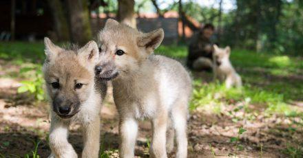 Wolfswelpen laufen durch das Gehege. Der Wolfpark Merzig hat mit drei Welpen den ersten Nachwuchs seit fast zehn Jahren.