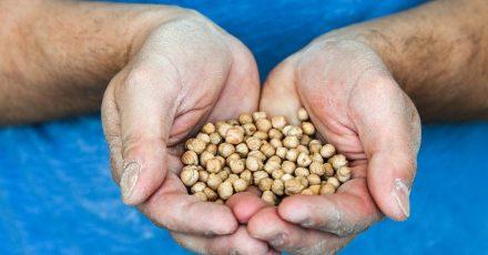 Die Firma Zeevi, die Kofu (Tofu aus Kichererbsen) produziert, wird ab Juli 2021 nur noch Kichererbsen aus Sachsen-Anhalt in Bio-Qualität verwenden.