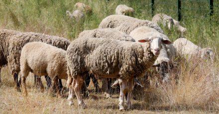 Schafe sollen als «natürliche Rasenmäher» den Bewuchs in den Autobahnentwässerungsanlagen kurz halten.