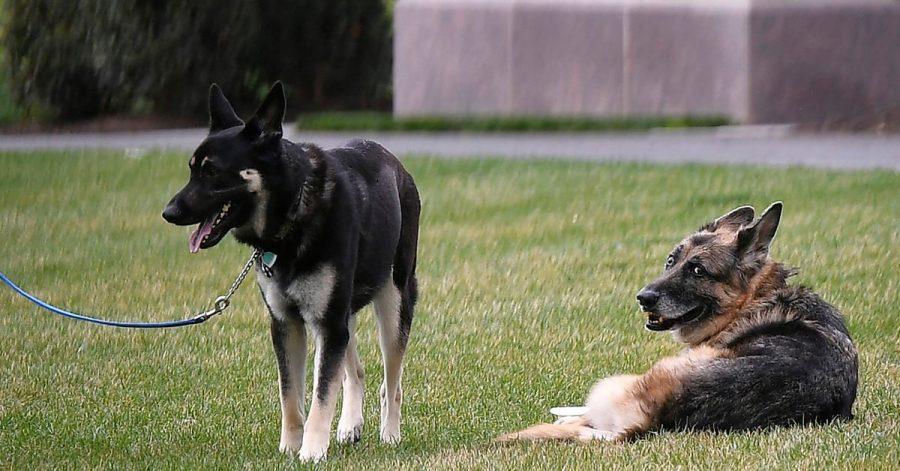 Der Deutsche Schäferhund Champ (r) und Major von Präsident Biden liegen auf dem South Lawn des Weißen Hauses.