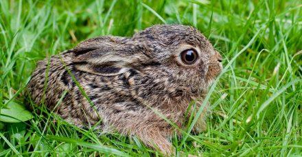 Ein drei Wochen altes Feldhasenbaby sitzt allein im Gras. In der Regel ist es nicht verlorengegangen, sondern wartet dort nur auf die Hasenmama.