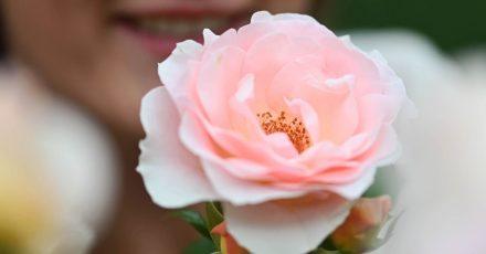 Die lachsrosafabene Floribundarose «Royale Estelle»: Die Rose der dänischen Züchterin Rosa Eskelund wurde beim 69. Internationalen Rosenneuheiten-Wettbewerb mit dem Titel «Goldene Rose von Baden-Baden» ausgezeichnet.