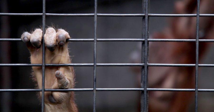 Eine Hand am Gitter: ein junger Orang-Utan in Gefangenschaft.