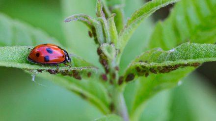 Natürlicher Feind: Marienkäfer haben Blattläuse zum Fressen gern. (sob/spot)