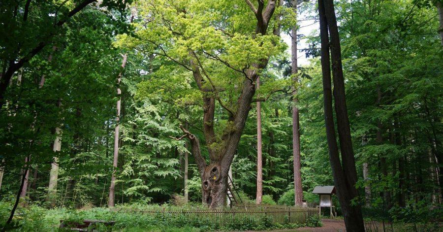 Hier ist die Liebe zuhause:die «Bräutigamseiche» im Dodauer Forst.