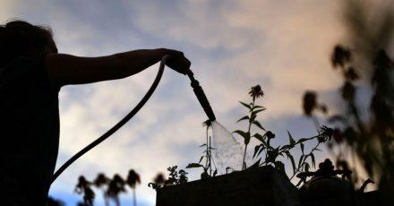 Im Sommer Pflanzen am besten früh morgens oder nach Sonnenuntergang gießen - und auf keinen Fall, wenn die Sonne herunterknallt.