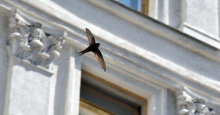 Insektenfressende Vogelarten wie der Mauersegler werden immer weniger.