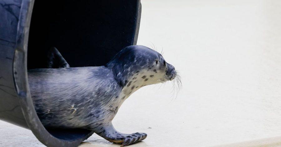 Lønne, erster Heuler der Saison, wird in der Seehundstation Friedrichskoog aufgepäppelt.