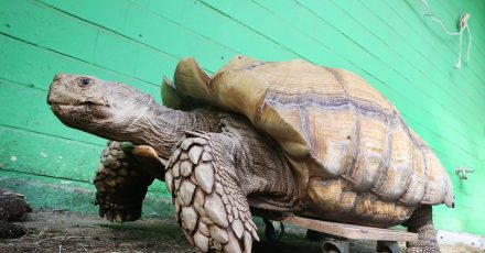 Das rund 100 Kilogramm schwere Schildkrötenmännchen Helmuth bewegt sich auf seinem Rollbrett durch das Gehege im Gelsenkirchener Zoo.