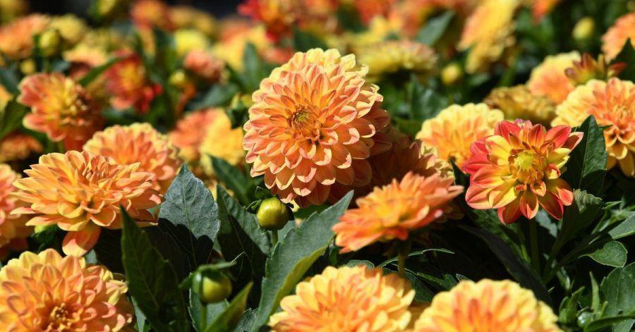 Schöne, aber schwere Blüten: Damit Dahlien und Stauden nicht abknicken, sollte man die Pflanzen unauffällig abstützen.