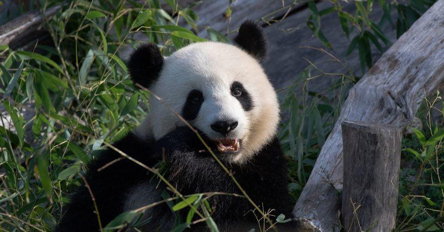 Die Panda-Dame Meng Meng hat am 10. Juli Geburtstag. Das muss gefeiert werden.