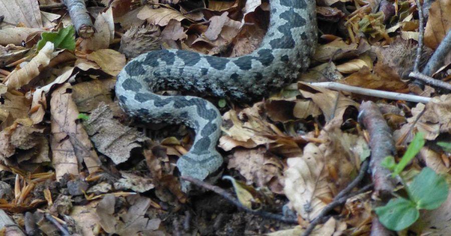 Die Hornviper gehört zu den gefährlichsten Schlangen in Europa. (Archivbild)