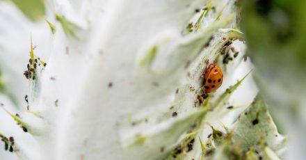 Marienkäfer lieben Blattläuse - und sind daher sehr nützlich für Gärtner.