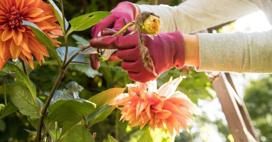 Schneiden Hobbygärtner die welken Köpfe der Dahlie regelmäßig ab, schiebt die Pflanze immer wieder neue Knospen nach.