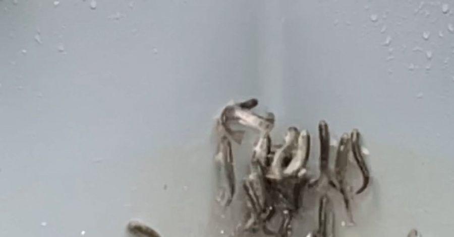 Junglachse in einem Fischbecken versuchen panikartig aus dem Wasser zu springen. In einem Bachzulauf zu dem Becken wurde später Kokain entdeckt.