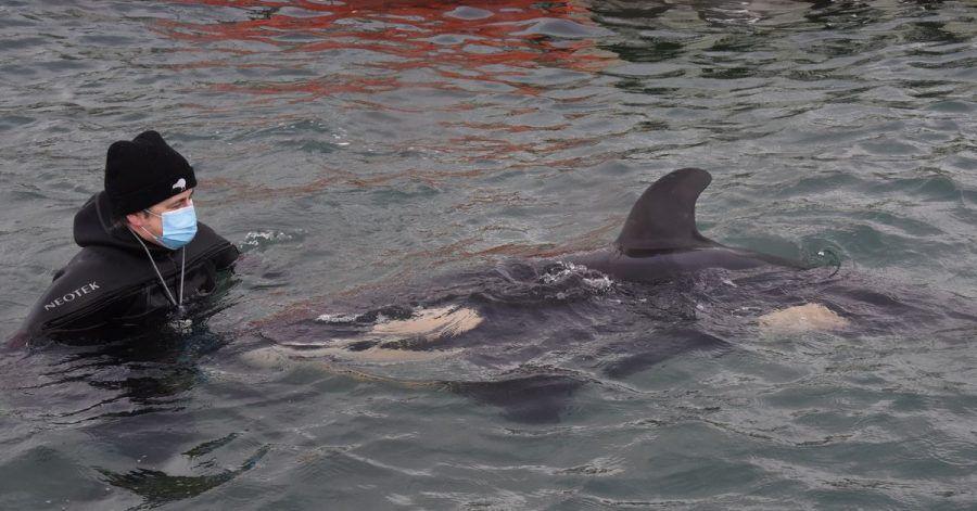 Ein freiwilliger Helfer mit dem Orca-Baby Toa. Der kleine Schwertwal ist gestorben.